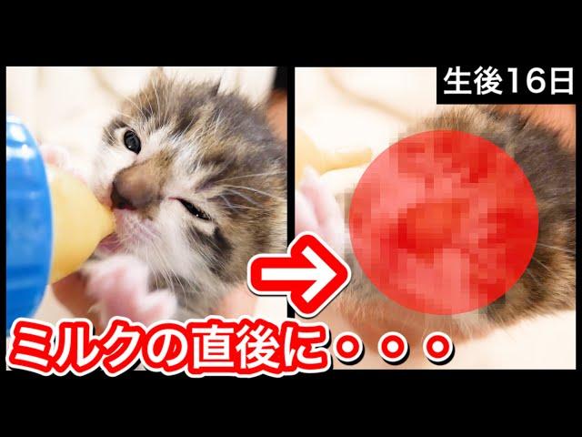 生後16日目の赤ちゃん子猫がミルク後、衝撃行動に!【保護猫】