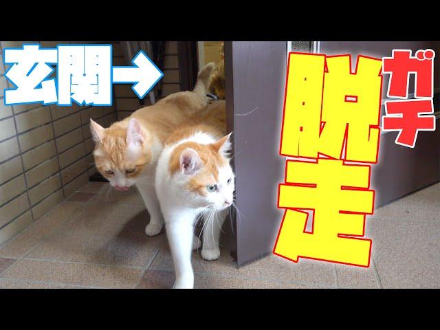 【やばい】玄関から猫が全員脱走しました