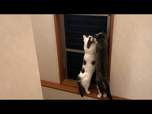 網戸にとどめをさそうとする猫