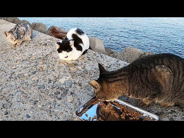 エサを独り占めしようとするいじわるな猫 かわいい子猫とも喧嘩する カルカン(kalkan)とちゅ~るを給餌 野良猫 感動猫動画