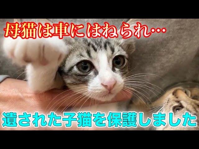 車に轢かれ息絶えた母猫の側には子猫が…保護しました【We rescued kittens】