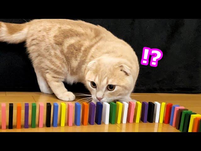 猫の前でドミノを並べていると大惨事が…w