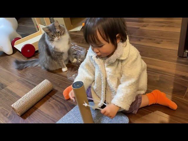 娘から猫のような威嚇をされた猫 ノルウェージャンフォレストキャットThe cat was  hissed like a cat by daughter. Norwegian Forest Cat.