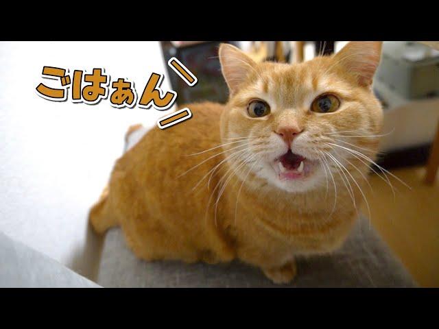 ごはんの時間になるとお喋りになる猫が可愛すぎました!