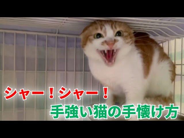 噛み付き猫パンチ炸裂の不良娘(猫)との接し方【Cat hissing】
