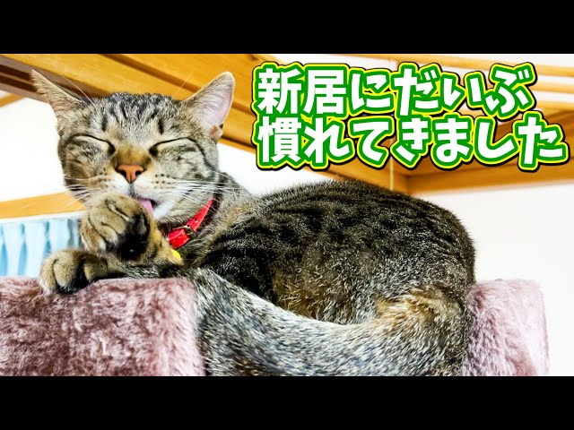 保護野良猫家猫化 新居にだいぶ慣れてきてリラックスできる様になってきた