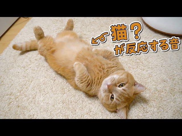 うちの猫は猫という意識が足りないみたいですw【猫が反応する音】