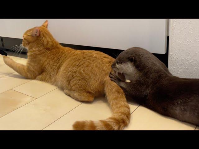 猫のお尻に入ろうとするカワウソ otter trying to get into a cat's buttocks
