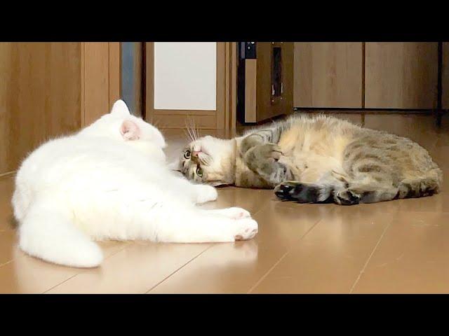 姉猫に甘えてみるも報われない妹猫!