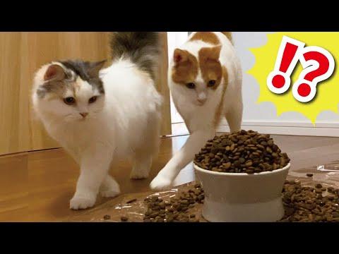 大量のカリカリに猫達が本気でびっくりしてました…【おしゃべりする猫】