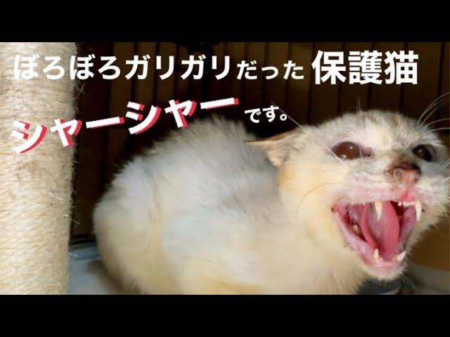 [沖縄保護猫]ぼろぼろガリガリだった元野良猫ディノの現在と、スネオの腎臓がヤバイことになっている。