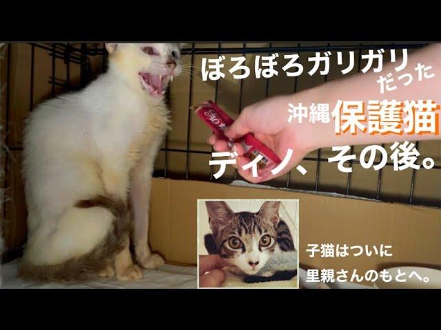 [沖縄保護猫]ぼろぼろガリガリだった元野良猫ディノのその後。子猫テンはついに里親さんのもとへ。喜びと寂しさが鼻汁と共に込み上げる…