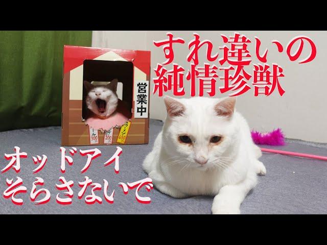 すれ違いの純情猫型珍獣、オッドアイの瞳そらさないで The odd-eye cat's love story
