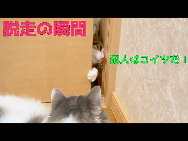 【ドアを開ける猫】ついに脱走する決定的瞬間を目撃しました。